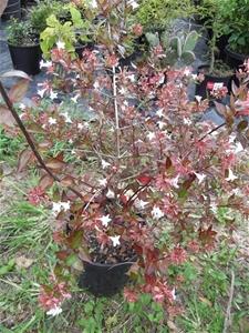 Abelia Grandiflora 200mm Pot Full Sun Part Shade Plant Height