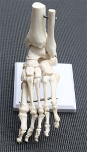 Life Size Foot Joint Anatomical Model Sk