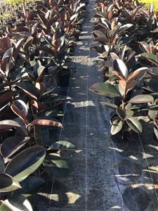 3 x Ficus Elastica – Burgundy