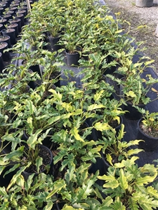 3 x Philodendron Xanadu