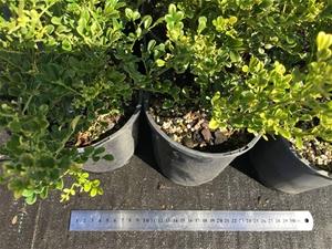 6 x Murraya Paniculata Dwarf Min a Min (