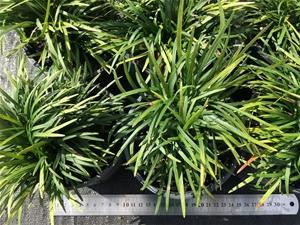 6 x Ophiopogon japonicus -Mondo Grass