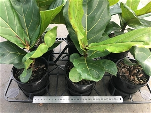 6 x Ficus Lyrata