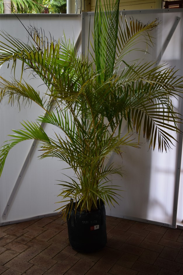 Approximately 8 Foot Golden Cane Palm