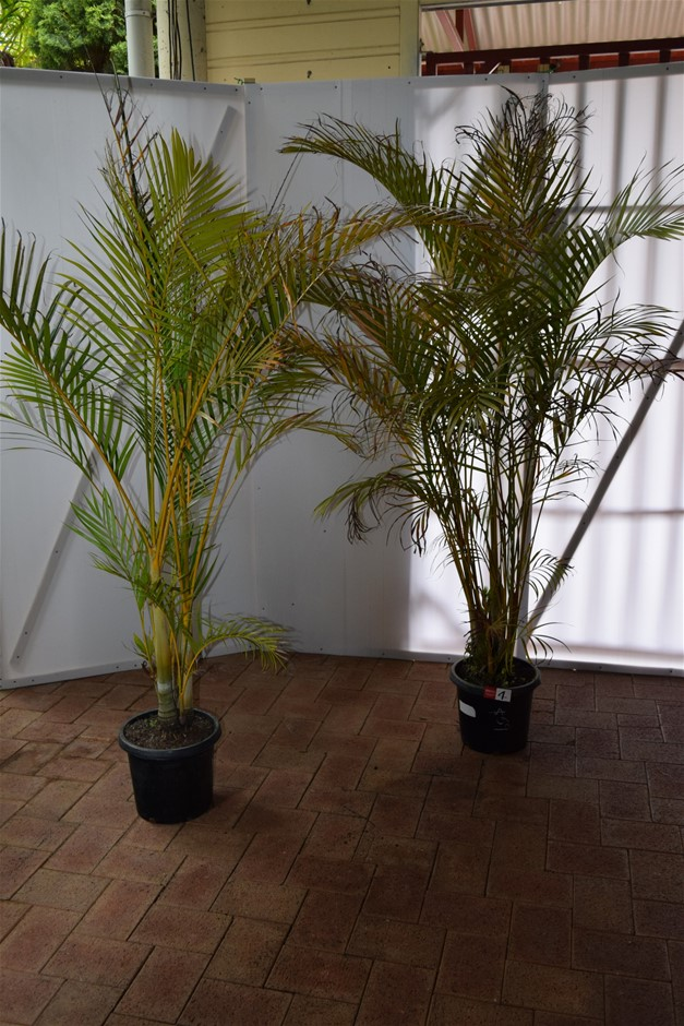(Bid Price Per Each) Approximately 7 Foot Golden Cane Palms
