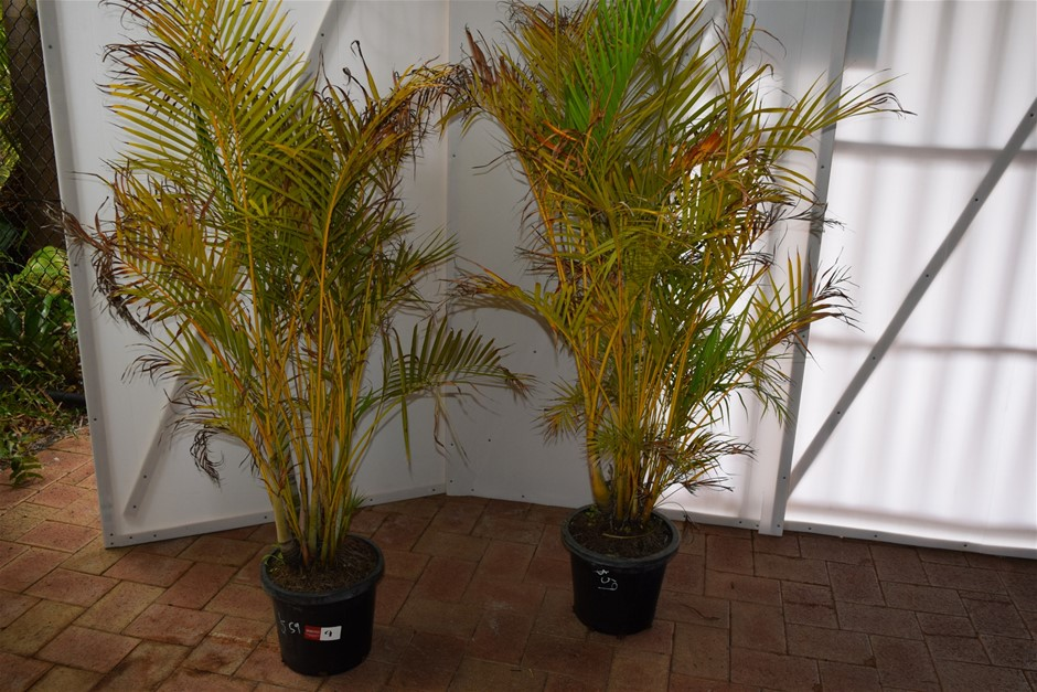 (Bid Price Per Each) Approximately 5 Foot Golden Cane Palms