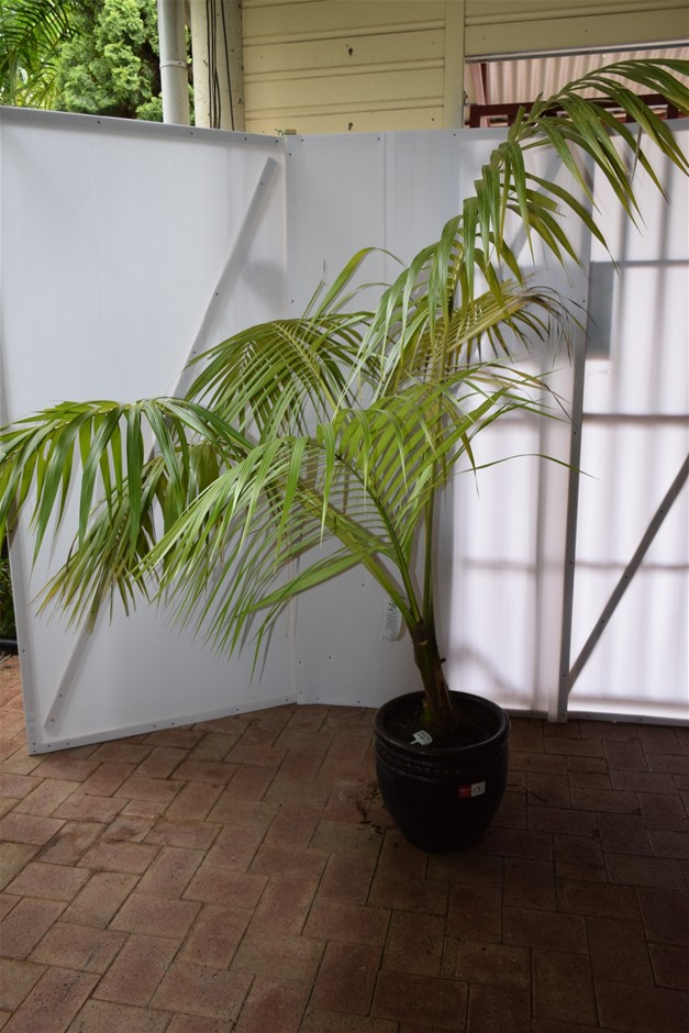 Approximately 8 Foot Kentia Palm In Ceramic Pot