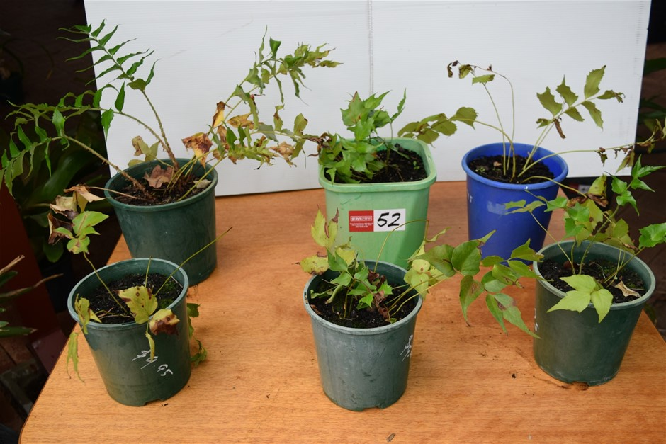 "Lot of 6 ""Flav"" Plants In Pots"
