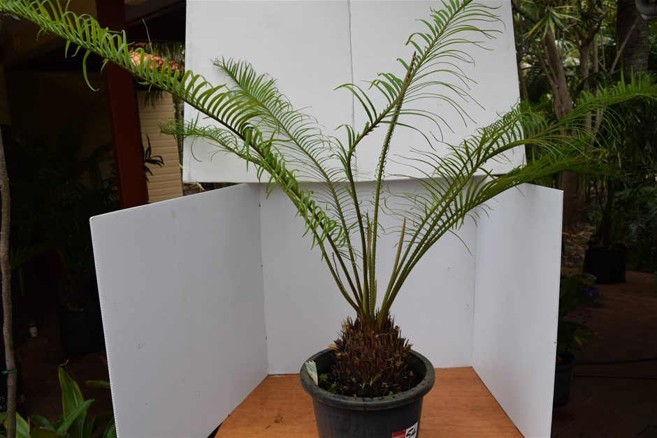 """Cycad Thouarsii"" in 300ml Pot"