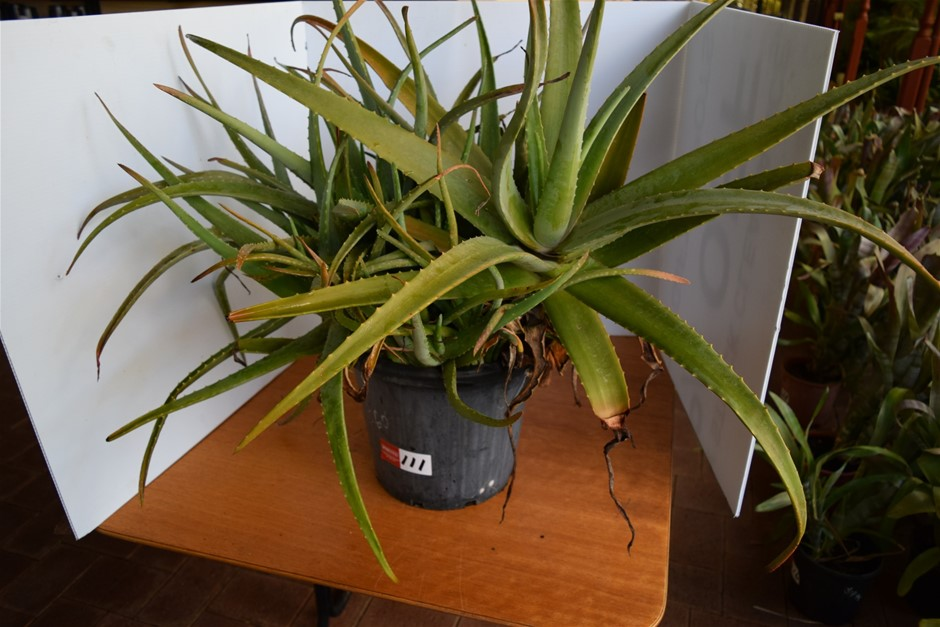 Aloe Vera in 300ml Pot